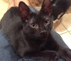 Meet Ford - so gentle, loving, an adoptable Domestic Short Hair-black looking for a forever home. If you're looking for a new pet to adopt or want information on how to get involved with adoptable pets, Petfinder.com is a great resource.