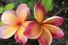 PLumeria rubra 'George Brown' A stunning lavender scented small growing Frangipani. Has a musk rainbow bloom with a light brown center. Growing to roughly 2m. A must for any Tropical Garden here in the NT.