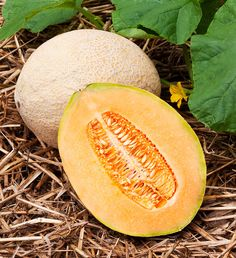 This heat-loving fruit with a long growing season are also known as Muskmelons and are well known for their net-like, tan rind, and sweet orange flesh. Cantaloupes are members of the cucurbit family of plants (Cucurbitaceae) that also includes cucumbers, pumpkins, squashes, gourds, and a long list of melons. They are easy to grow specialty melons with hundreds of variaties to choose from. Although a long and warm growing season is a must for a successful cantaloupe harvest. the pleasure that…