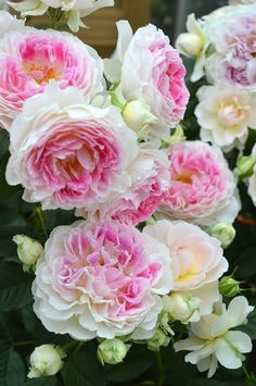 Captivating Why Rose Gardening Is So Addictive Ideas. Stupefying Why Rose Gardening Is So Addictive Ideas. Types Of Flowers, Love Flowers, Wedding Flowers, Romantic Roses, Beautiful Roses, Angel Plant, Good Morning Flowers, Climbing Roses, Love Rose