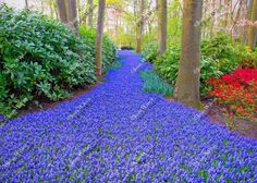 Spring Grape Hyacinth Trail Path at Keukenhof Gardens Lisse Zuid Holland Netherlands Flowers Dutch Countryside Architecture Original Fine Art Photography Wall Art Photo Print. My recent trip to the Netherlands in spring of 2016 culminated in many beautiful floral, tulip and landscape photos! Here is a shot of beautiful Keukenhof Gardens, the largest floral bulb park in the world! This is the Grape Hyacinth path!! Beautiful, unique and all original, prints by Joan Wilcox- Glanville. Each...