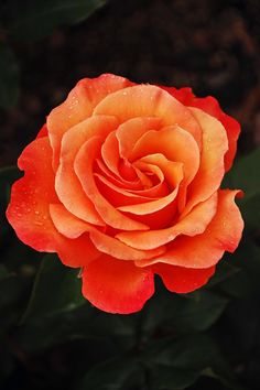 Orange Rose by Perl Photography,