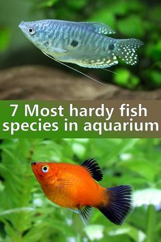 7 Most hardy fish species in aquarium Fish hardness is a important thing to consider, meaning the ability to adapt to a wide range of water parameters in home aquarium. Such fish are good starter fish and ideal for beginners. Best Aquarium Fish, Saltwater Aquarium, Planted Aquarium, Fish Aquariums, Aquarium Snails, Aquarium Set, Tanked Aquariums, Tropical Freshwater Fish, Tropical Fish Tanks