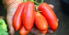 Sfaturi bune pentru roşii fabuloase | Paradis Verde