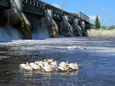 In summer American white pelicans congregate below the St Andrews Lock and Dam on the Red River at Lockport, Manitoba, Canada Andrew Lock, St Andrews, Red River, The St, Road Trip, Canada, American, Summer, Travel