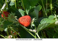 red strawberries in the grass - stock photo