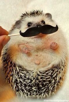 I mustache you a??  Do u like hedge hogs