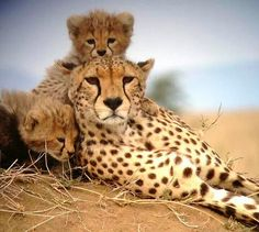 Female Cheetah and her Babies