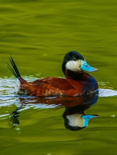 Male Ruddy Duck (Oxyura jamaicensis) ; Lake Chapman; Nov. 25, 2014. Link to vocalizations: http://www.allaboutbirds.org/guide/ruddy_duck/sounds