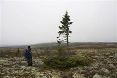 Mountain guide Eduardo Zuniga stands by an ancient spruce in Fulufjallet, southern Sweden, October 4, 2012. On a windswept Swedish mountain, a 10,000-year-old spruce with a claim to be the world's oldest tree is getting a new lease of life thanks to global warming, even as many plants are struggling. At a range of latitudes, but especially in the far north, climate change is bringing bigger than expected swings, putting billions of dollars at stake in a push to develop varieties with…