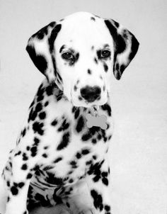 Dalmatian puppy. I so want one of these! I love dalmations. the best of both worlds...black and white...polka dots