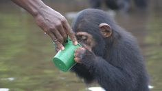 Lab Chimps Left to Die on an Island Are Finally Getting Help  The New York Blood Center took them to Liberia & conducted research leading to the development of a hepatitis B vaccine & sterilization for safe blood transfusions.