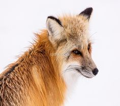 Free Image on Pixabay - Red Fox, Wildlife, Portrait, Nature National Geographic, Free Photos, Free Images, Fox Pictures, Fox Art, Canvas Prints, Art Prints, Red Fox, Wildlife