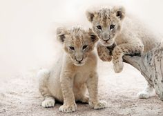 Lion Cubs by Marcel Boshuizen on 500px