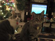 Hi Homer!!! Our names are Bella & Buster. We are American kitties who are also rescues. As you can see, we each only have one eye. But our human parents think that makes us extra special. We were made fun of a lot before we were adopted (the rescue workers told that to our mom when she adopted us). But we never let it dampen our spirit. Thank you for continuing to bring awareness to cats with disabilities!! (submitted by Tori Christine)