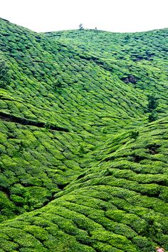 fleeckr:    Munnar Tea Hills by Scott Norsworthy