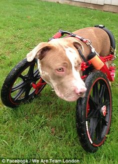 Pit bull that had legs amputated after horrific abuse is allowed into court to see its tormentors stand trial for animal cruelty (after being fitted with a dog wheelchair)