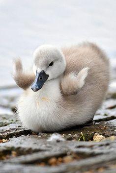 Happy Little Baby Sweetheart Swan, Adorable Moments in Nature ! Little Baby Sweetheart Swan, Adorable Moments in Nature ! Cute Baby Animals, Animals And Pets, Funny Animals, Nature Animals, Farm Animals, Vida Animal, Mundo Animal, Swans, Beautiful Birds