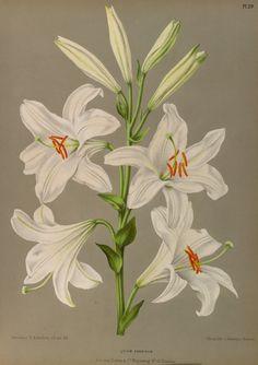 Madonna Lily - Lilium candidum
