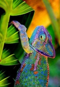 Ausgezeichnetes Chameleon Exzemplar, die Natur ist unwahrscheinlich farbenfreudig