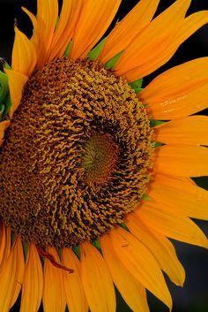 "Helianthus annuus ""sunflower"""