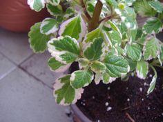 Φυτά στο μπαλκόνι που διώχνουν τα κουνούπια. Καλλιεργούνται εύκολα, δίνουν χρώμα στο χώρο και γεύση στα φαγητά - Value for Life Agriculture, House Plants, Places To Visit, Home And Garden, Backyard, Health, Flowers, Women's Fashion, Lawn And Garden