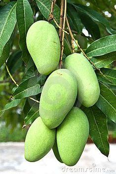 Green mangoes from Thailand Fruit Plants, Fruit Garden, Fruit Trees, Mango Fruit, Mango Tree, Exotic Fruit, Tropical Fruits, Beautiful Flowers Pictures, Veggie Gardens