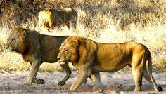 Skukuza Males at Simbambili Sep 2013 1