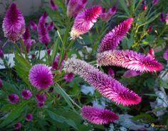 Celosia argentea plumosa
