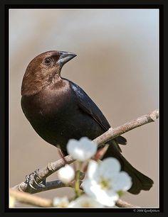 Male Brown- Headed Cowbird ~ reminds me of a favorite little black dress ~ classy bird