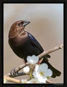 Male Brown- Headed Cowbird ~ reminds me of a favorite little black dress ~ classy bird