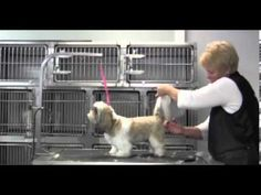 Shih Tzu Tail. Oster clipper videos on how to groom a Shih Tzu on this site.