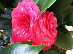 Camellia  by Judy Stanley