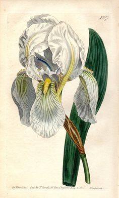 1803 Iris Antique Botanical Print White Vintage Flower Plate Curtis Botanical