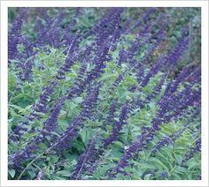 Salvia 'Anthony Parker' | Lambley Nursery