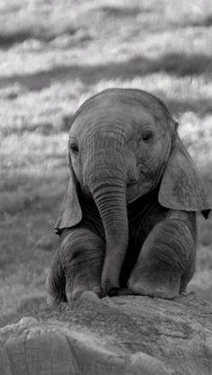 More Than 72 Adorable Photos Of Baby Elephants fotos adorables de elefantes bebés entzückende fotos von baby-elefanten foto adorabili di elefantini Baby Animals Pictures, Cute Animal Pictures, Animals And Pets, Wild Animals, Baby Farm Animals, Cute Elephant Pictures, Spring Animals, Vegan Animals, Black Animals