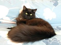 Isis, a black Siberian Forest cat