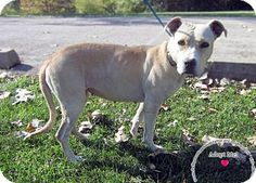 Sidney, OH - Labrador Retriever/Pit Bull Terrier Mix. Meet Delilah, a dog for adoption. http://www.adoptapet.com/pet/17125368-sidney-ohio-labrador-retriever-mix