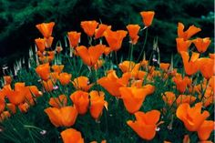 Field of orange California Poppies
