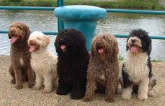 Spanish Water Dogs: normally lively, this photographer got lucky or is very, very talented!