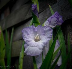 #gladiolusflower Gladiolus Flower, Photo S, Art Prints, Day, Plants, Beauty, Art Impressions, Fine Art Prints, Flora
