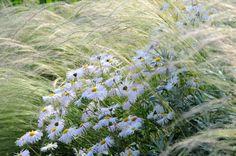 Shasta Daisy 'Phyllis Smith' and Stipa tenuissima  http://www.vasteplant.be/index.cfm?fuseaction=artperrub=10
