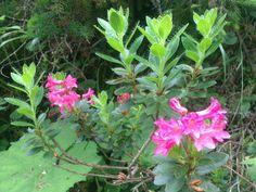 Rododendro delle mie montagne Cadore    Cri