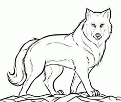 how to draw a gray wolf, timber wolf step 10