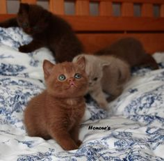 British Shorthair Cinnamon kittens - Google Search