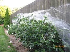 tips for growing blueberry bushes. Peaceful Table Vegan Cooking  Lifestyle