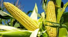 The wholesale price of maize (Yellow and White) from Ekpoma market in Edo state and Maikarfi Market in Kaduna state is NGN17, 000. and NGN15,000.  Nitrogen is important to securing high yields in maize. It fuels crop growth and development and needs to be readily available.  Phosphorus is particularly important for root development and good crop establishment.  Potassium, like nitrogen, also boosts crop development, large amounts are taken up by the growing plant.  Magnesium, sulfur, and…
