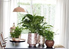 Das Einblatt macht sich gut auf dem Esstisch #pflanzenfreude #pflanzen #plants #houseplants #einblatt #spathiphyllum