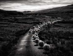 25 magnifiques photos de moutons   25 magnifiques photos de moutons en troupeau 2
