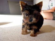 Never been a fan of Yorkies, i just LOVE bigger dogs. Butttt, @Magan Hazel  sure has a cutie!